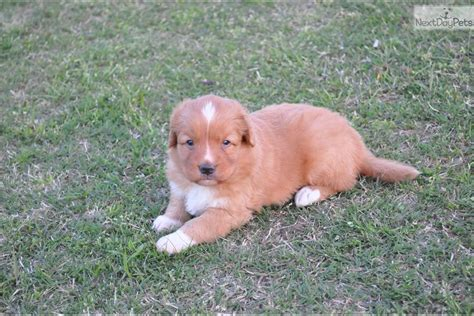 duck tolling retriever puppies for sale scotia duck tolling retriever puppy for sale near tulsa oklahoma 1a9d0b21 9721
