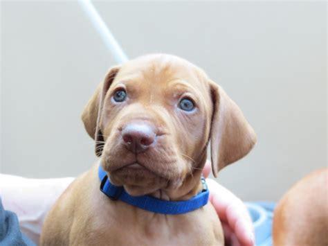 vizsla puppies for sale hungarian vizsla puppies for sale ammanford carmarthenshire pets4homes