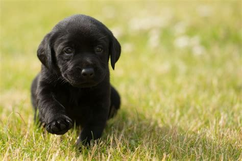black labrador retriever puppies black labrador puppies for sale southport merseyside pets4homes