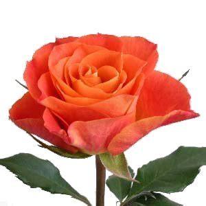 Wedding Flower Stephanotis - mariana orange rose