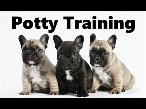 house break dog how to potty train a french bulldog puppy french bulldog house training french