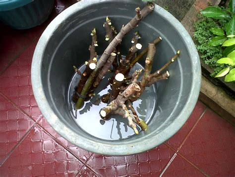 Cocopeat Murni cara stek pohon tin bibitbunga