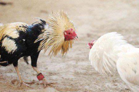 mejores peleas de gallos 2015 peleas de gallos len 2015 peleas de gallos de redonda
