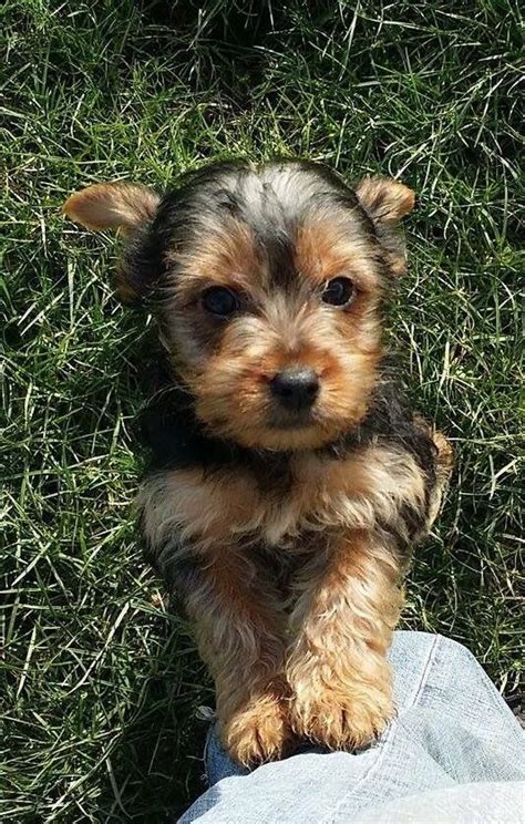 looking for teacup yorkies adorable yorkie puppies looking for loving homes market harborough leicestershire