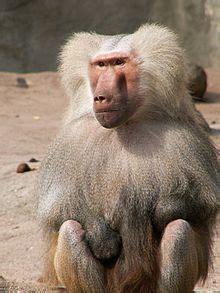 babuin wiktionary