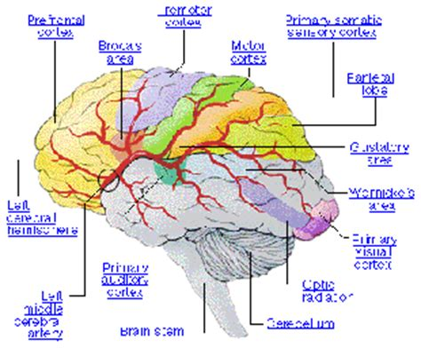 human brain mapping pictures of the human brain search results calendar 2015