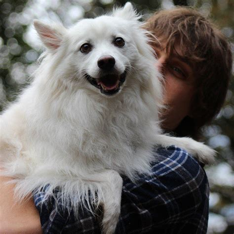 American Eskimo Shed by 100 American Eskimo Is Shedding Like 10 Dogs Who Shed Like And Why We