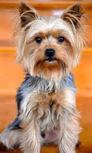 yorkie colors best 25 terrier haircut ideas on
