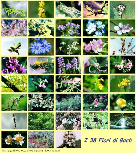 fiori di bach x ansia fiore di bach x la rabbia fare di una mosca