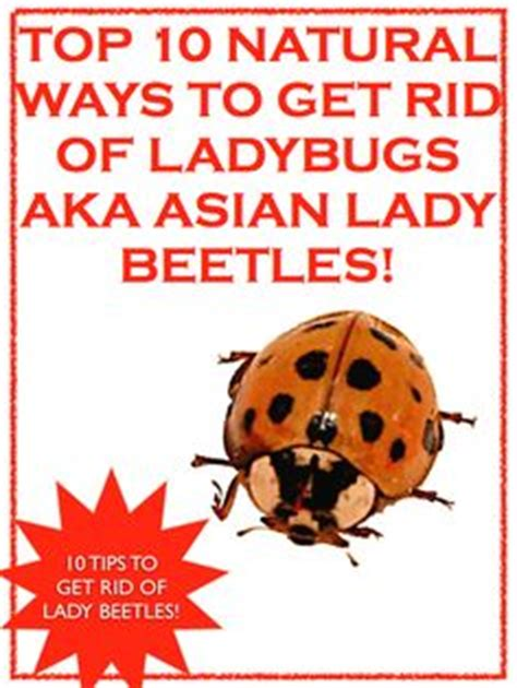 how to get rid of ladybugs ladybugs the and to get