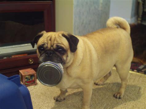 can dogs eat tuna can dogs eat tuna fish
