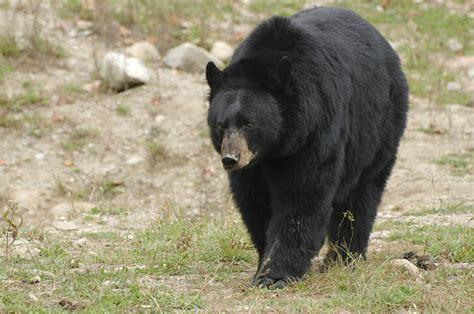 big black bear judging black bear size big bear or small bear bc