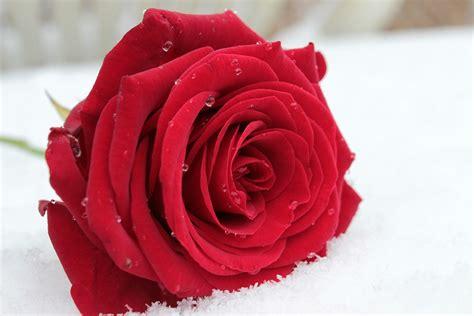 fiore rosa foto gratis rosa rosso fiore fiore rosa immagine