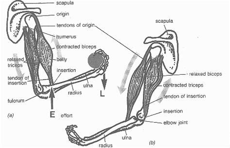 triceps diagram triceps and biceps diagram www pixshark images