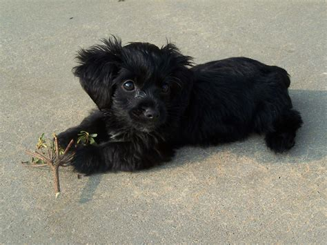 black teacup yorkie black yorkie poo puppy animals yorkie poo puppies
