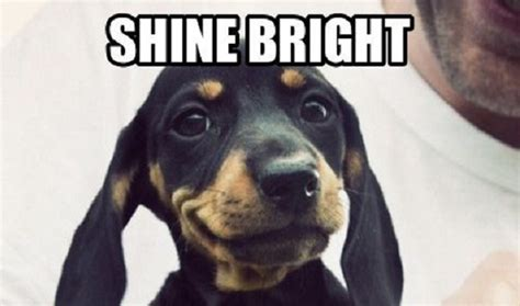 Weiner Dog Meme - dachshund dog silence golden meme dog breeds picture