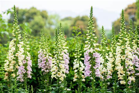 cottage garden plants top 10 cottage garden favourites the garden