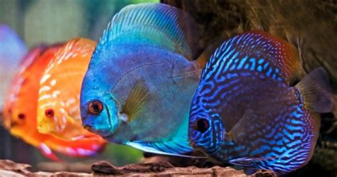 most colorful freshwater fish 10 most colorful freshwater fish most colorful