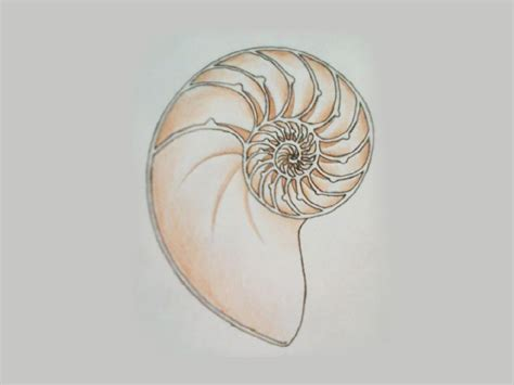 chambered nautilus shell pictures to pin on pinterest