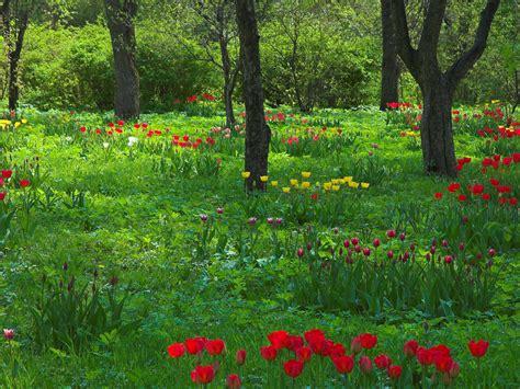 wallpaper pc taman tulpen im fr 252 hling hintergrundbilder tulpen im fr 252 hling