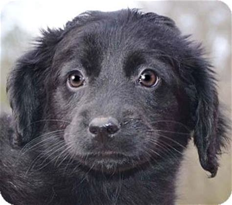 black golden retriever mix golden retriever black lab mix