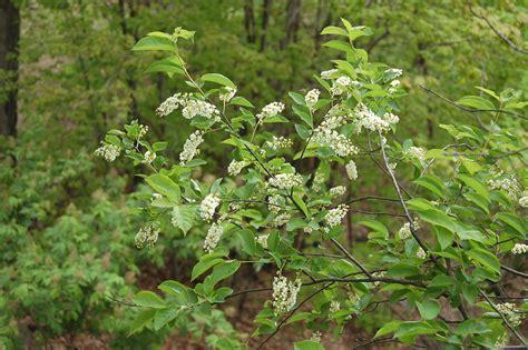 prunus serotina black cherry go botany