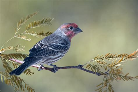 house finch song house finch song 28 images song birds around me
