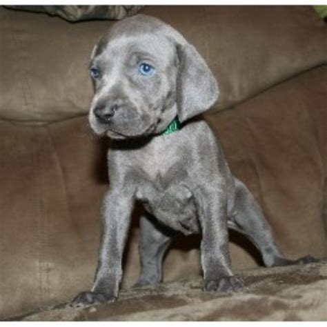 weimaraner puppies for sale in michigan weimaraner breeders in michigan freedoglistings
