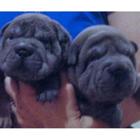 shar pei puppies for sale in ohio blue shar pei puppies oh its like kali joe