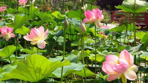 lotus garten july 07 2013 lotus lilies in doris japanese garden