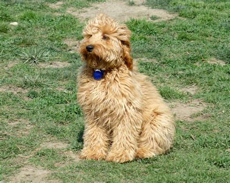 doodle what do they mini goldendoodle grown what size is your mini