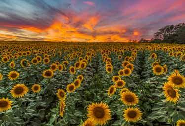 sunflower fields forever kansas city photographer grinter s sunflower farm timing is everything for amazing