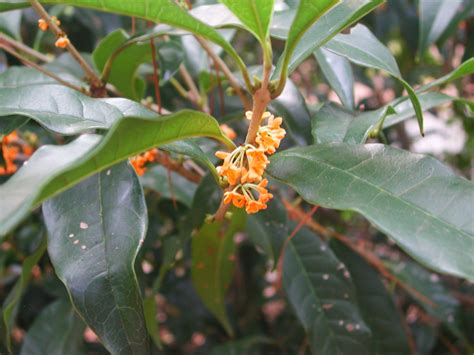 fragrant olive plant fragrant tea olive nature photo gallery