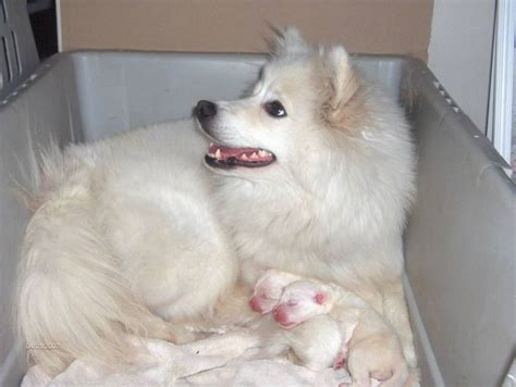 eskimo spitz puppies 280 best american eskimo german spitz images on doggies american eskimo