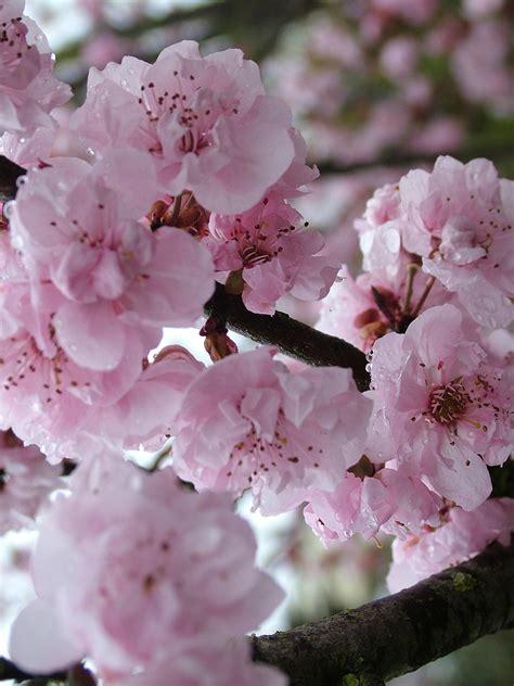 prunus blireana flowering plum tree blerick trees buy