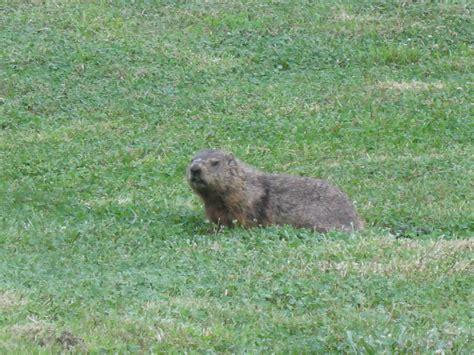 groundhog in my backyard razzberry corner death of a woodchuck
