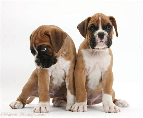 adopt a boxer puppy boxer puppies for adoption bazar