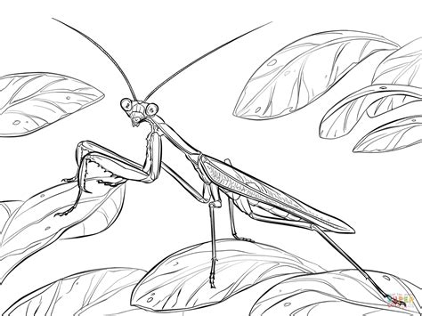 african praying mantis coloring page free printable