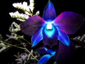 blue orchid flower blue orchid flower hd wallpaper flowers wallpapers
