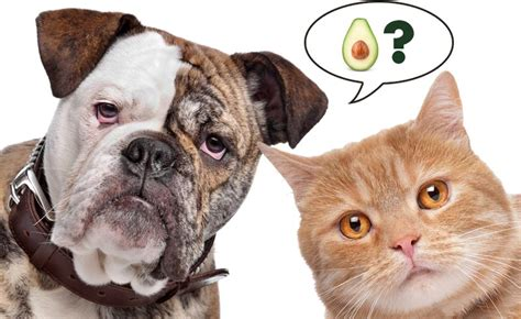 avocado and dogs are avocados for my cat and avoseedo grow your own avocado tree