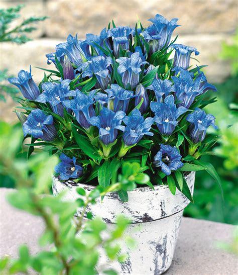 Mein Garten Bilder 3006 by Herbst Enzian Blumenstauden Bei Baldur Garten