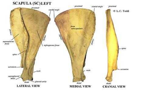 animal anatomy scapula scapula sc bovine bones pinterest scapula