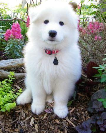 samoyed puppies ohio 1000 ideas about samoyed puppies on samoyed samoyed dogs and samoyed