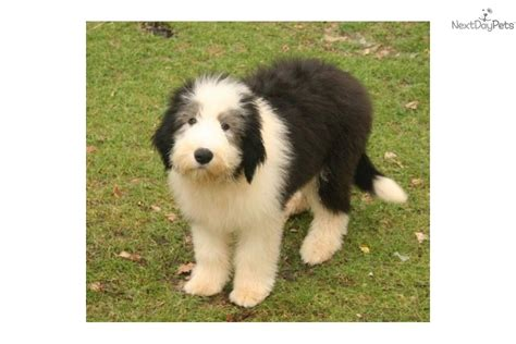 collie puppies for sale in ohio bearded collie puppies for sale and bearded collie breeders breeds picture