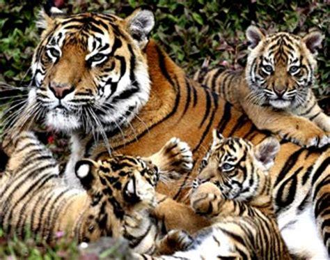 Harimaun Sumatera harimau sumatera ipa edukasi