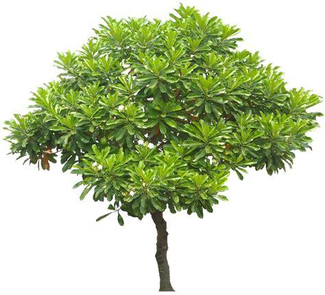 Pohon Tabebuya Trembesi Mahoni lung jual bibit pohon tanaman