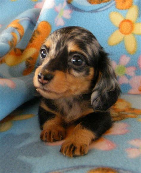 teacup dachshund puppies teacup weiner leppold s mini dachshunds teacupdogslist teacupdogs puppies