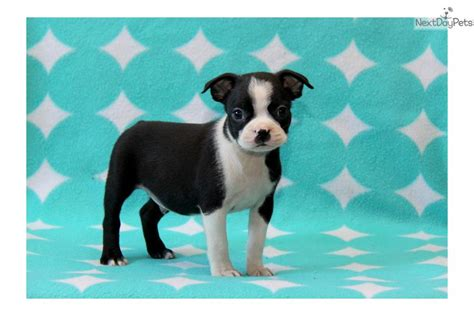 boston terrier puppies pa boston terrier puppies pennsylvania breeds picture