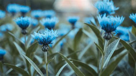 Blue Flowers by Wallpaper Blue Flowers Hd 4k Flowers 5520