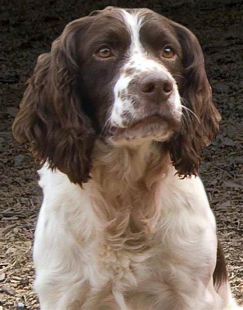 spaniel breeds paw print genetics breed of the week springer spaniel